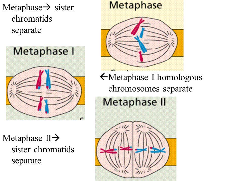 Metaphase  sister chromatids separate Metaphase II  sister chromatids separate  Metaphase I homologous chromosomes separate