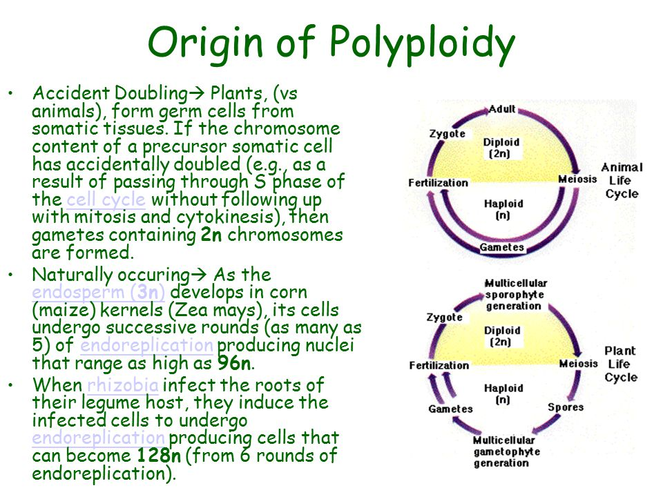 Origin of Polyploidy Accident Doubling  Plants, (vs animals), form germ cells from somatic tissues. If the chromosome content of a precursor somatic