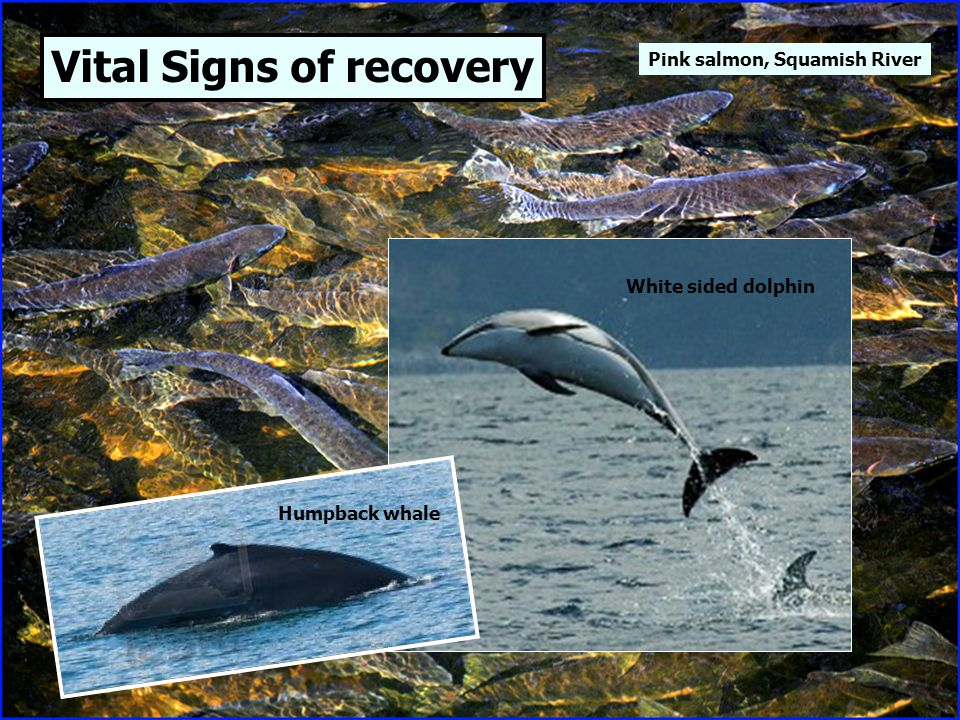 Vital Signs of recovery Humpback whale White sided dolphin Pink salmon, Squamish River