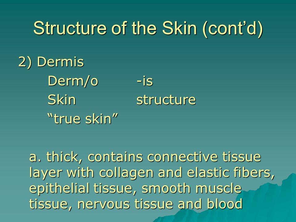 2) Dermis Derm/o-is Skinstructure true skin a.