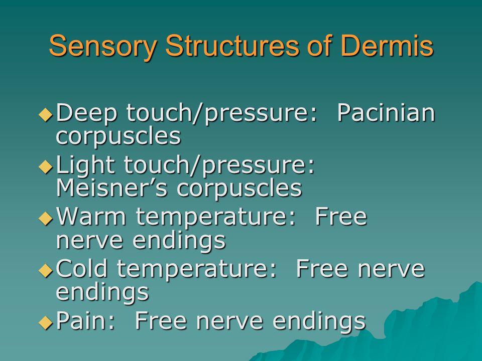 Sensory Structures of Dermis  Deep touch/pressure: Pacinian corpuscles  Light touch/pressure: Meisner's corpuscles  Warm temperature: Free nerve endings  Cold temperature: Free nerve endings  Pain: Free nerve endings