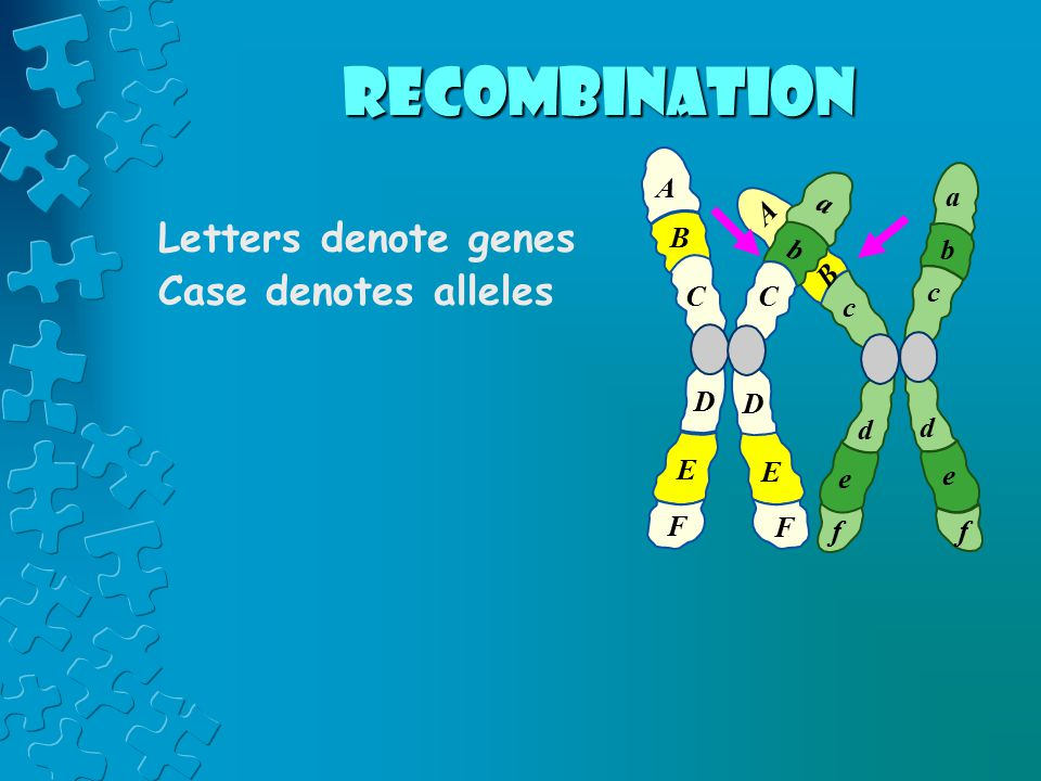 Letters denote genes Case denotes alleles A B C D E F a b c d e f c d e f A B a b C D E F recombination