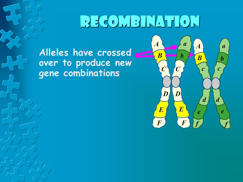 Alleles have crossed over to produce new gene combinations A B C D E F a b c d e f c d e f A B a b C D E F recombination