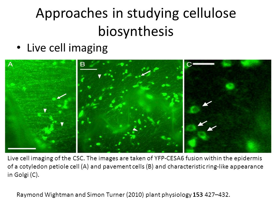 Approaches in studying cellulose biosynthesis Live cell imaging Live cell imaging of the CSC.