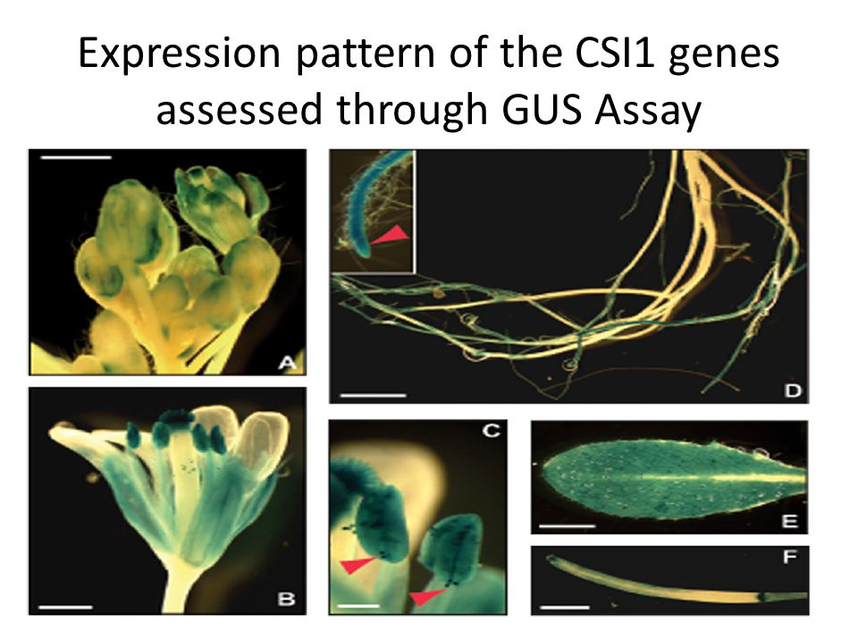 Expression pattern of the CSI1 genes assessed through GUS Assay