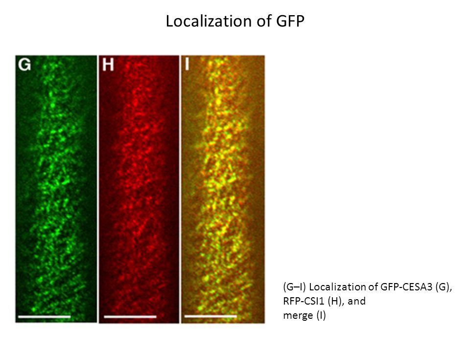 Localization of GFP (G–I) Localization of GFP-CESA3 (G), RFP-CSI1 (H), and merge (I)