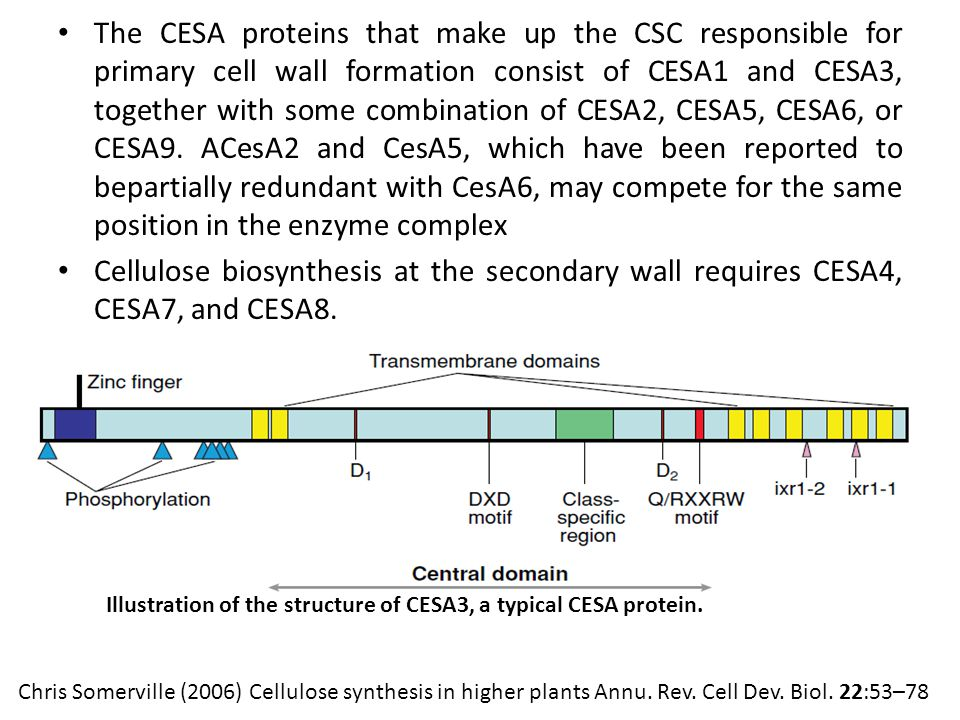 The CESA proteins that make up the CSC responsible for primary cell wall formation consist of CESA1 and CESA3, together with some combination of CESA2, CESA5, CESA6, or CESA9.