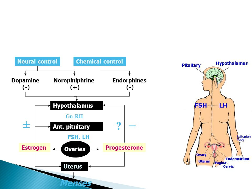 Neural controlChemical control Dopamine (-) Norepiniphrine (+) Endorphines (-) Hypothalamus Gn-RH Ant. pituitary FSH, LH Ovaries Uterus ProgesteroneEs
