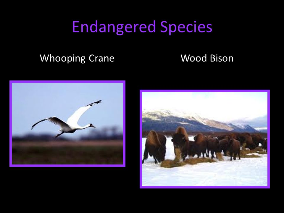 Endangered Species Whooping CraneWood Bison
