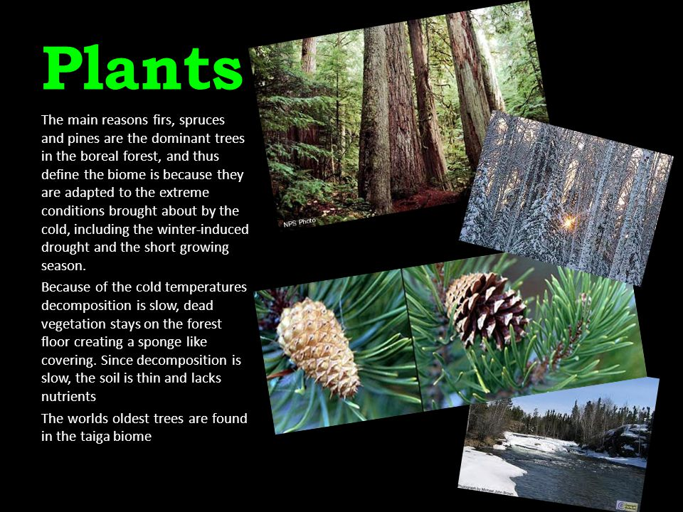 Plants The main reasons firs, spruces and pines are the dominant trees in the boreal forest, and thus define the biome is because they are adapted to
