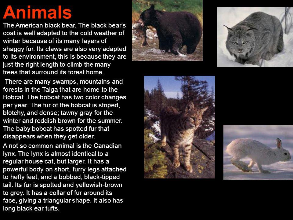 Animals The American black bear.