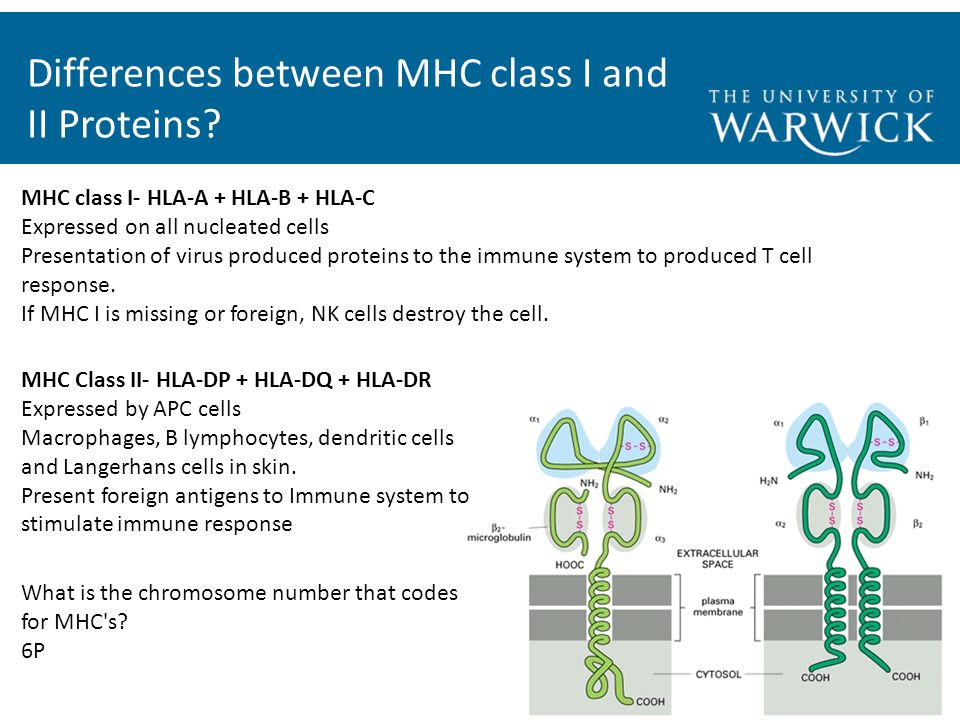 Differences between MHC class I and II Proteins.