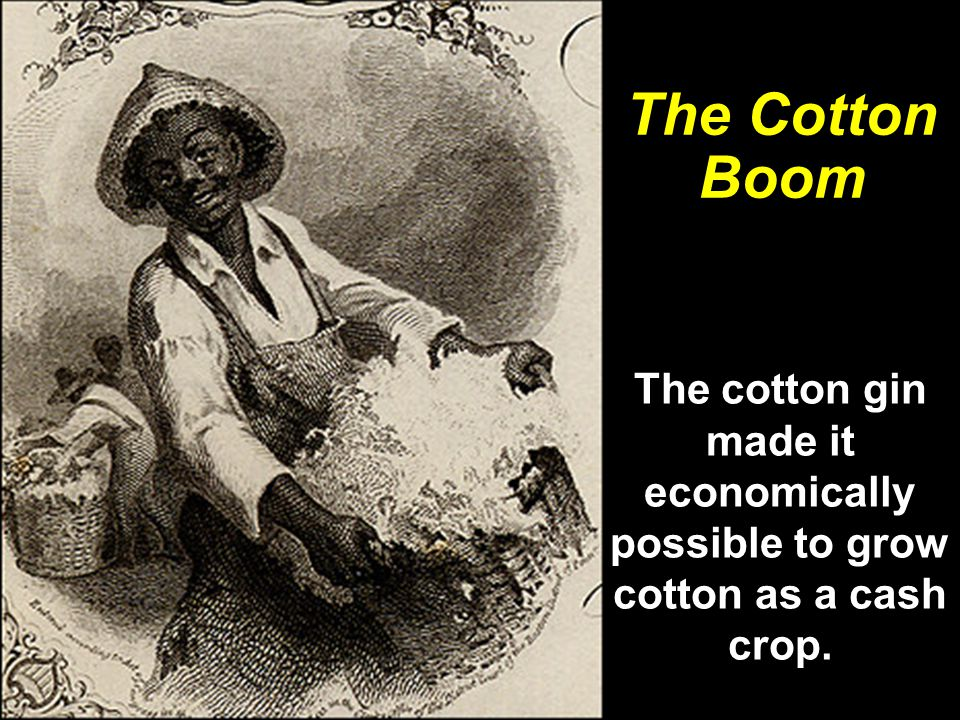 The cotton gin made it economically possible to grow cotton as a cash crop. The Cotton Boom