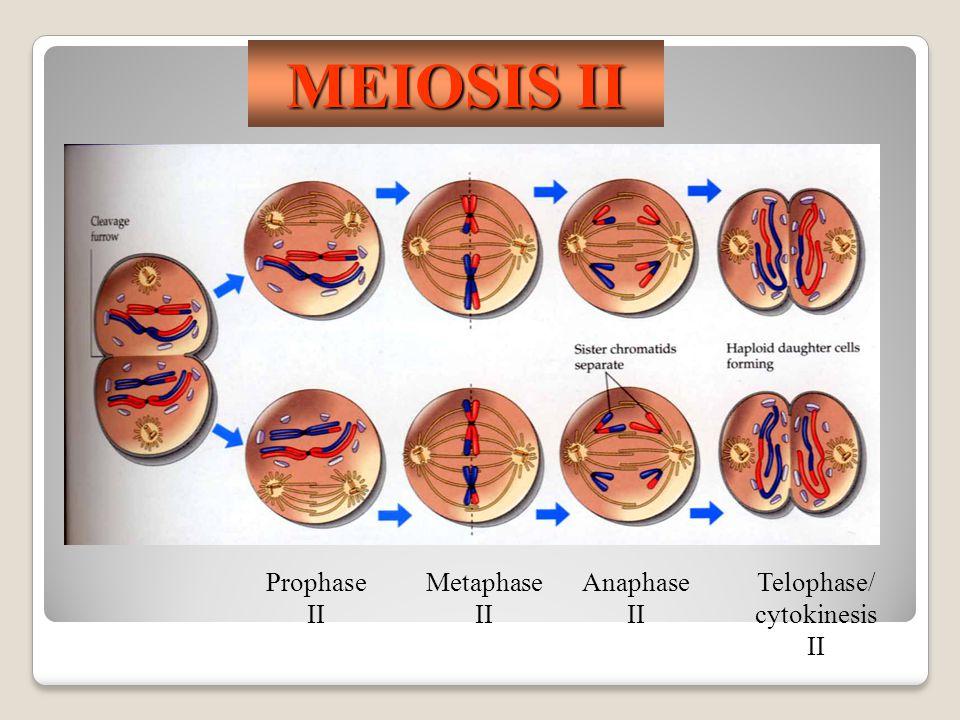 MEIOSIS II Prophase II Metaphase II Anaphase II Telophase/ cytokinesis II