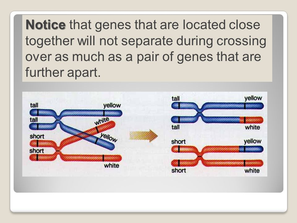 Notice Notice that genes that are located close together will not separate during crossing over as much as a pair of genes that are further apart.