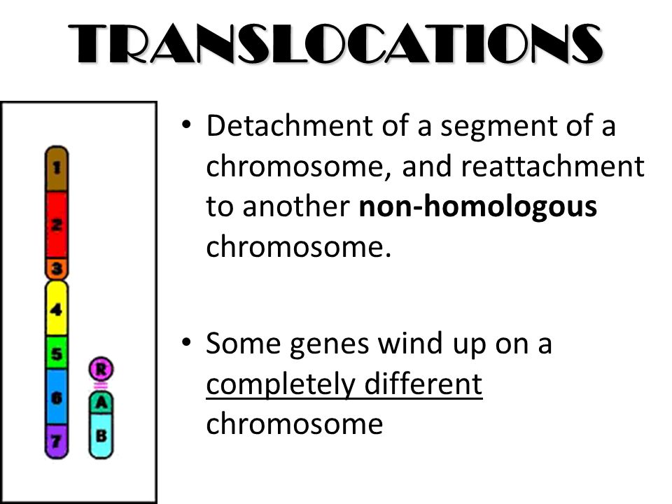 TRANSLOCATIONS Detachment of a segment of a chromosome, and reattachment to another non-homologous chromosome. Some genes wind up on a completely diff