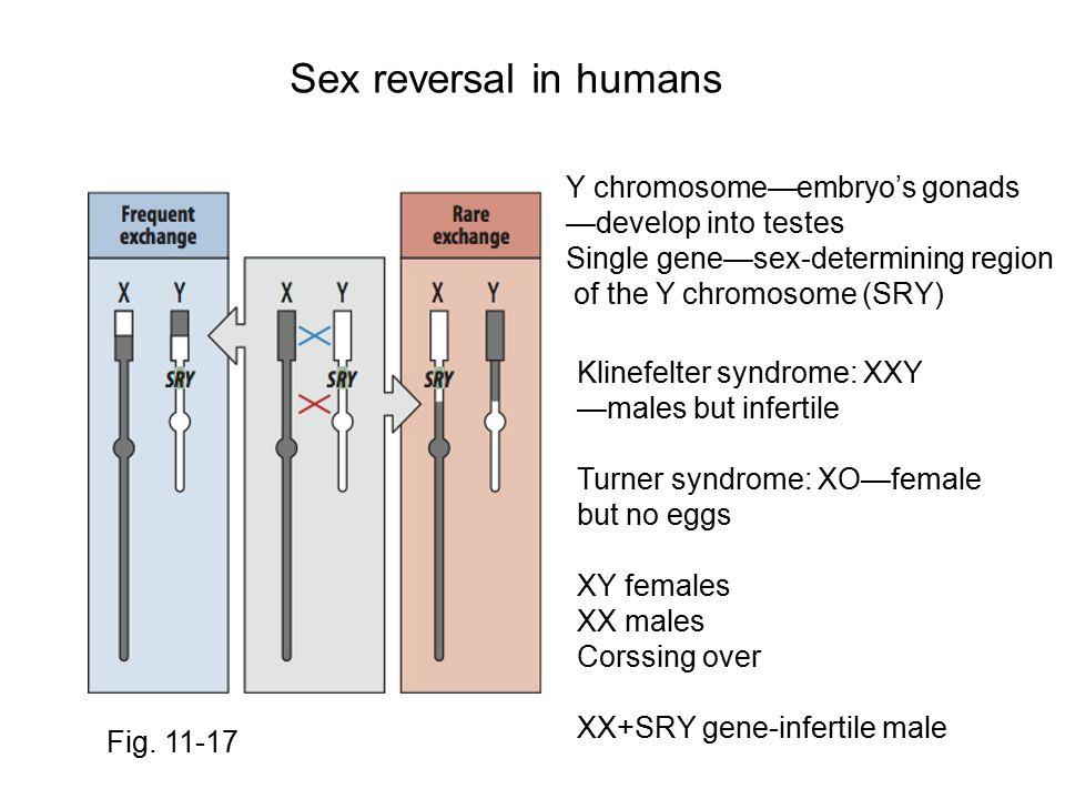 Sex reversal in humans Fig. 11-17 Y chromosome—embryo's gonads —develop into testes Single gene—sex-determining region of the Y chromosome (SRY) Kline