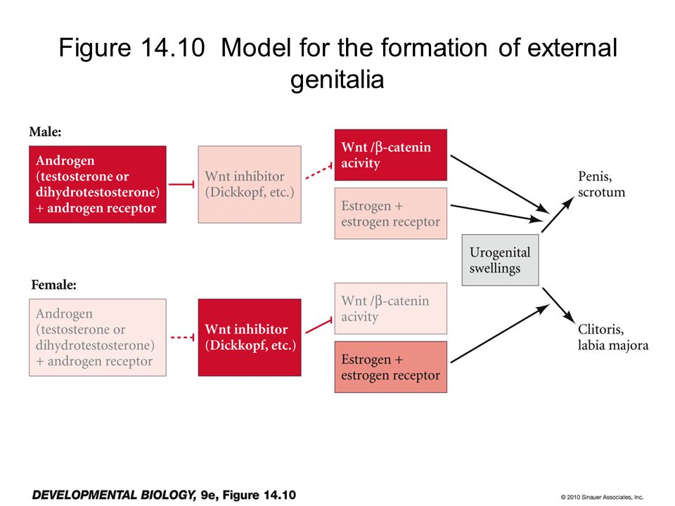Figure 14.10 Model for the formation of external genitalia
