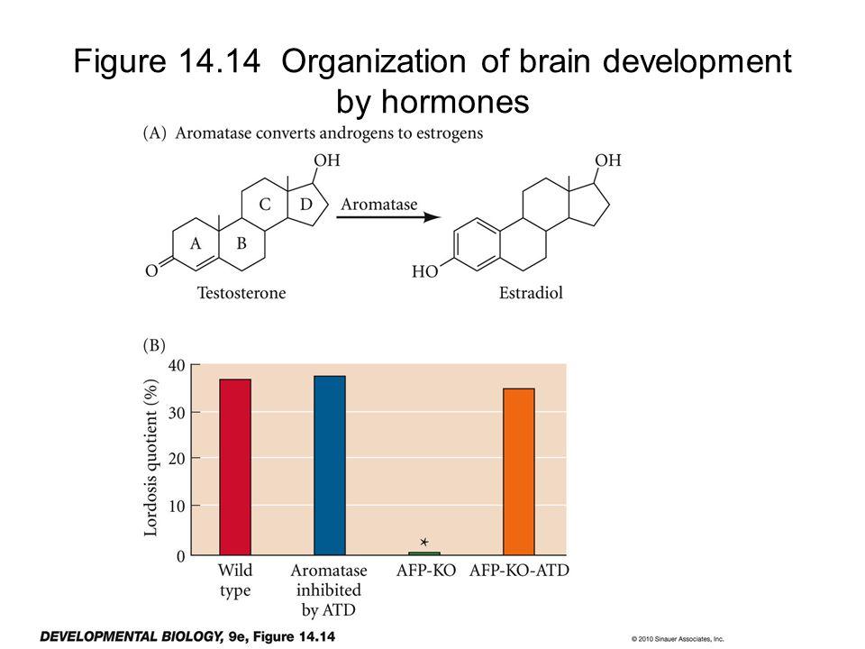 Figure 14.14 Organization of brain development by hormones