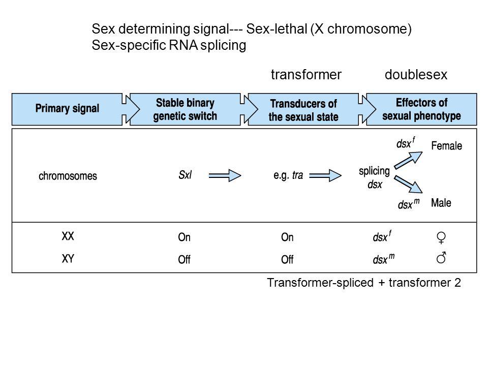 Sex determining signal--- Sex-lethal (X chromosome) Sex-specific RNA splicing Transformer-spliced + transformer 2 transformer doublesex