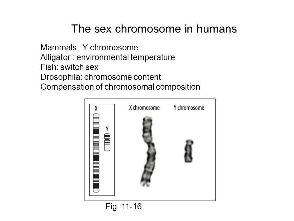 The sex chromosome in humans Fig. 11-16 Mammals : Y chromosome Alligator : environmental temperature Fish: switch sex Drosophila: chromosome content C