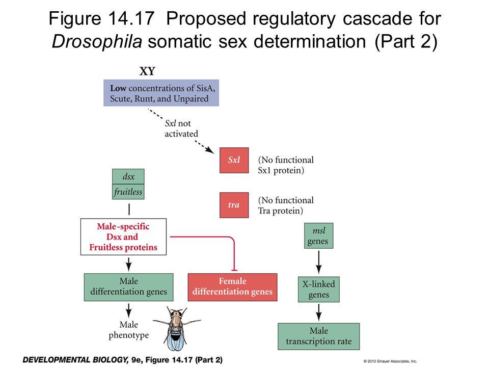 Figure 14.17 Proposed regulatory cascade for Drosophila somatic sex determination (Part 2)
