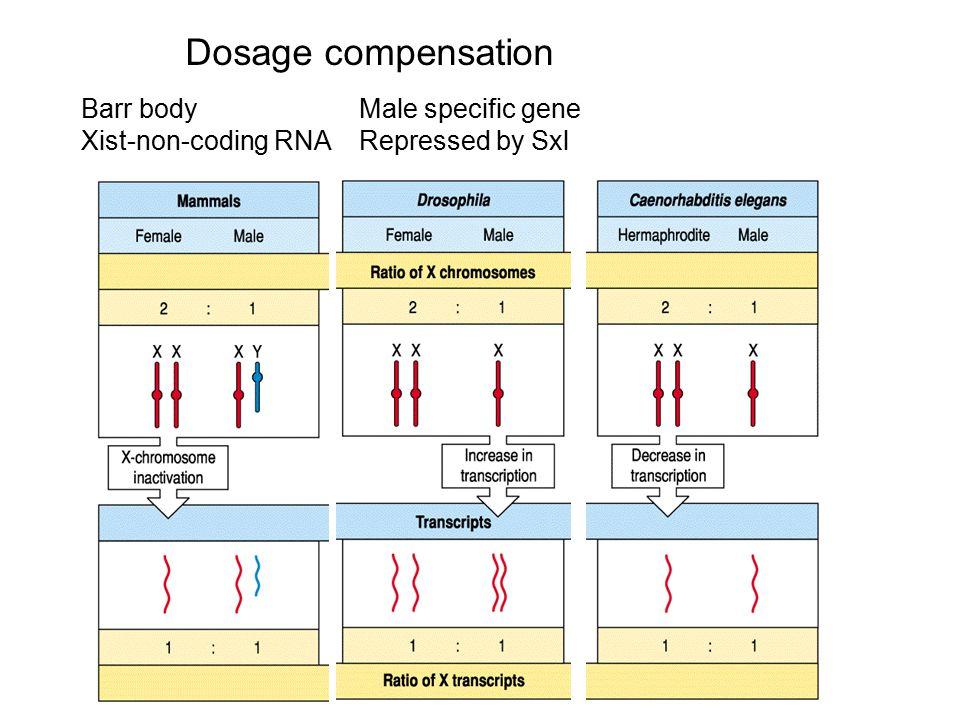 Dosage compensation Barr body Xist-non-coding RNA Male specific gene Repressed by Sxl