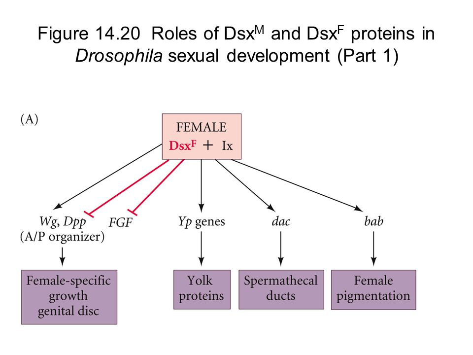 Figure 14.20 Roles of Dsx M and Dsx F proteins in Drosophila sexual development (Part 1)