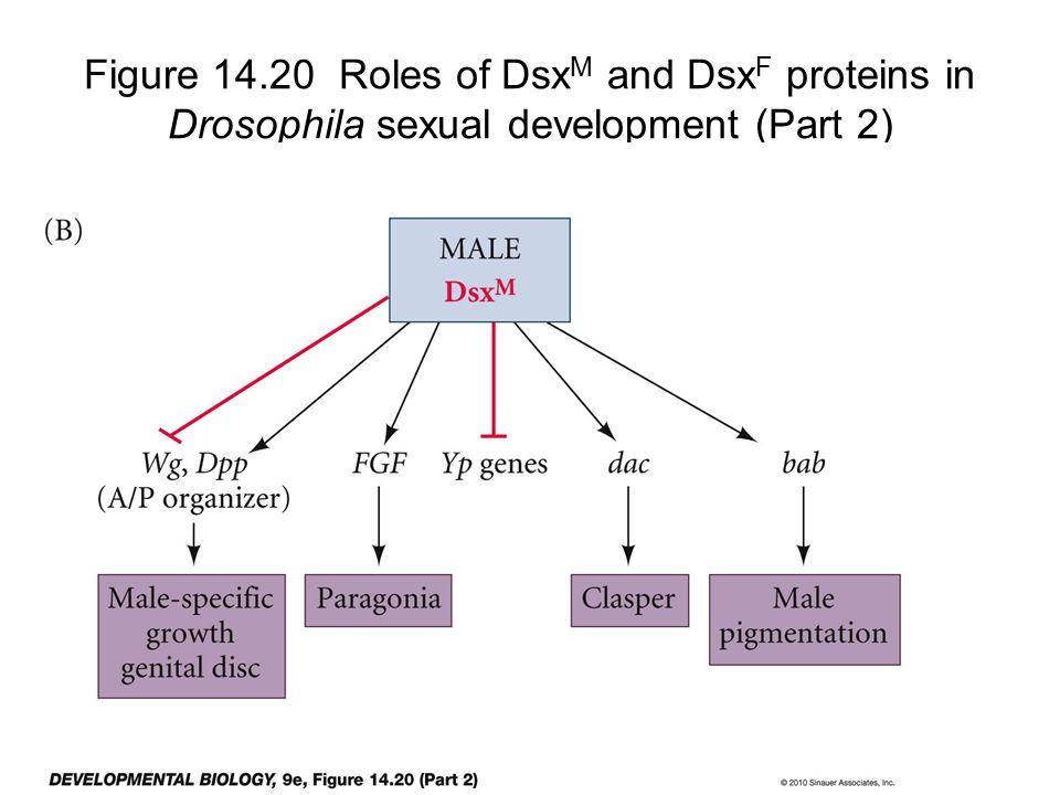 Figure 14.20 Roles of Dsx M and Dsx F proteins in Drosophila sexual development (Part 2)
