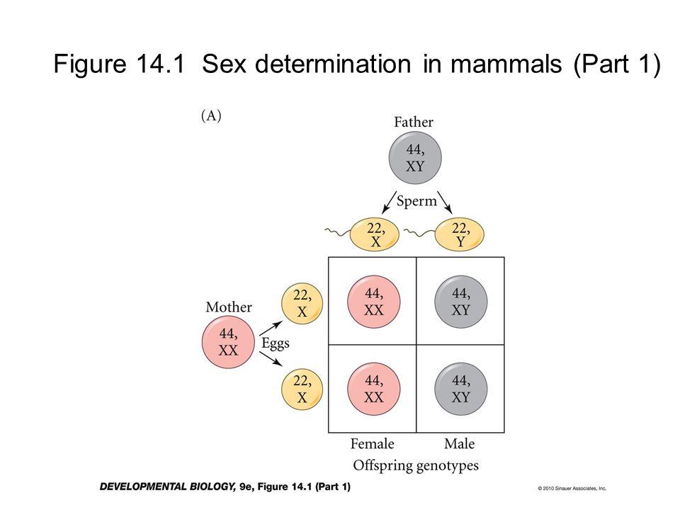 Figure 14.1 Sex determination in mammals (Part 1)