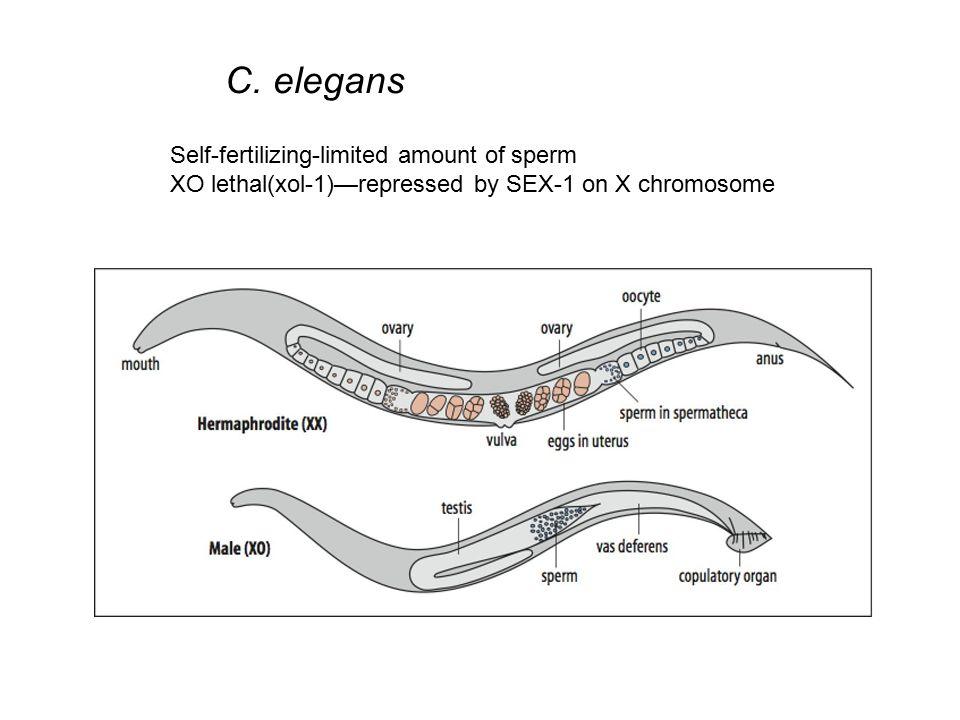 C. elegans Self-fertilizing-limited amount of sperm XO lethal(xol-1)—repressed by SEX-1 on X chromosome