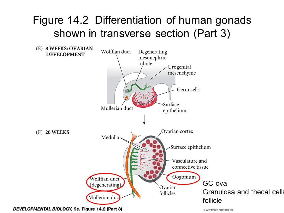 Figure 14.2 Differentiation of human gonads shown in transverse section (Part 3) GC-ova Granulosa and thecal cells follicle