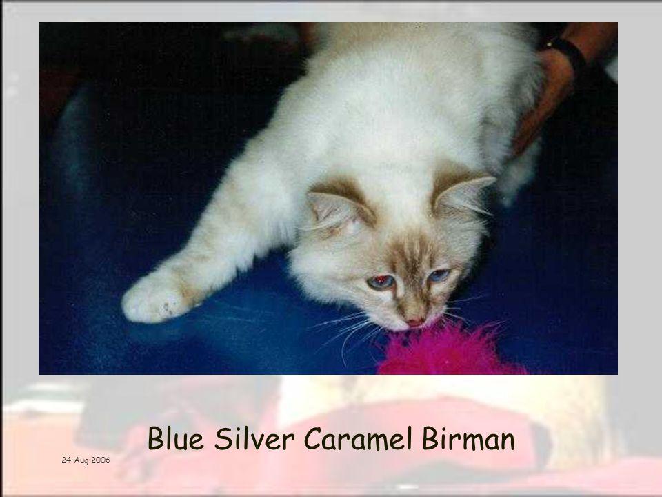 24 Aug 2006 Blue Silver Caramel Birman