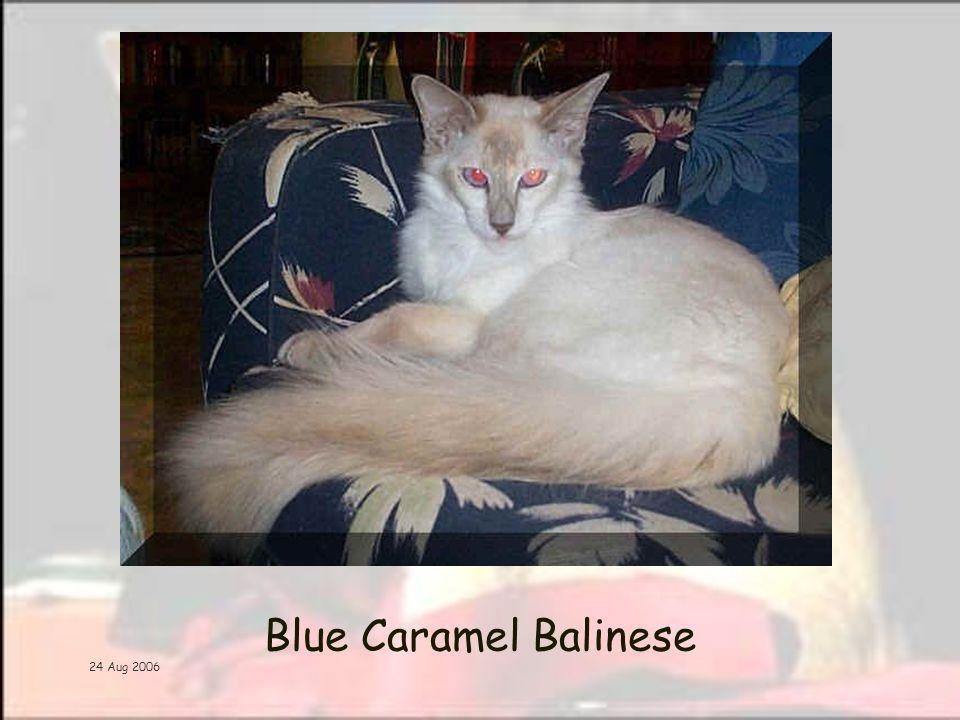 24 Aug 2006 Blue Caramel Balinese