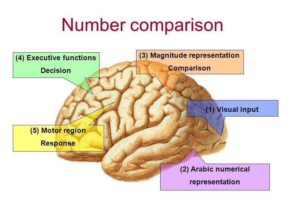 Number comparison (4) Executive functions Decision (2) Arabic numerical representation (3) Magnitude representation Comparison (1) Visual input (5) Motor region Response