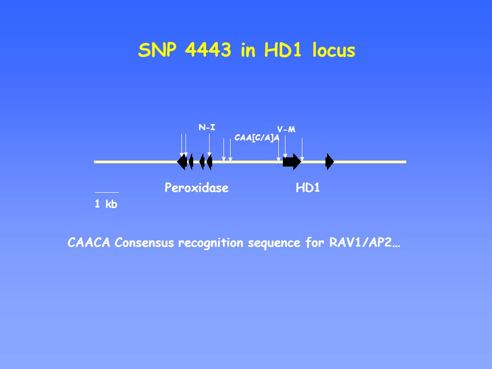 N-I CAA[C/A]A V-M HD1 Peroxidase SNP 4443 in HD1 locus 1 kb CAACA Consensus recognition sequence for RAV1/AP2…