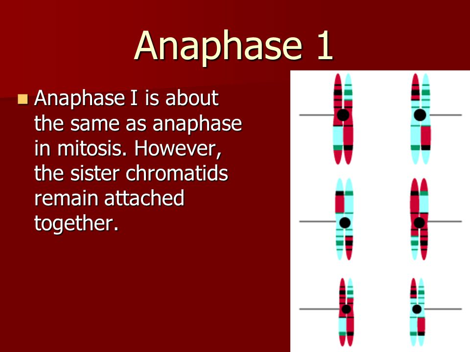 Anaphase 1 Anaphase I is about the same as anaphase in mitosis. However, the sister chromatids remain attached together. Anaphase I is about the same