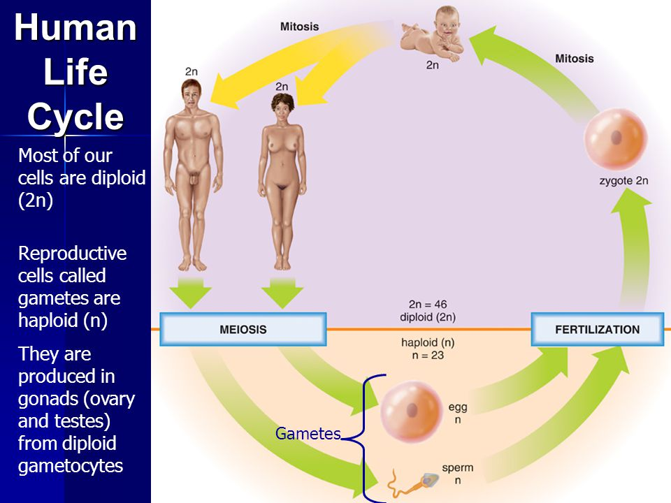Meiosis I and Meiosis II Two Stages of Meiosis In meiosis I the homologous chromosomes are separated In meiosis II the sister chromatids are separated Four cells are produced, each with one set of chromosomes (n).