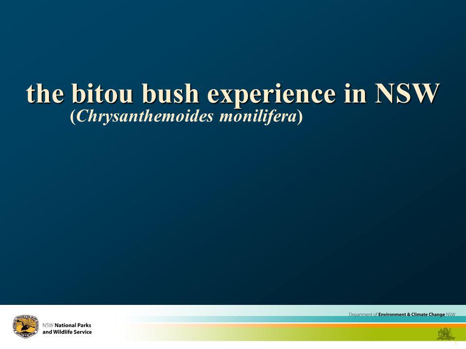 8 the bitou bush experience in NSW (Chrysanthemoides monilifera)