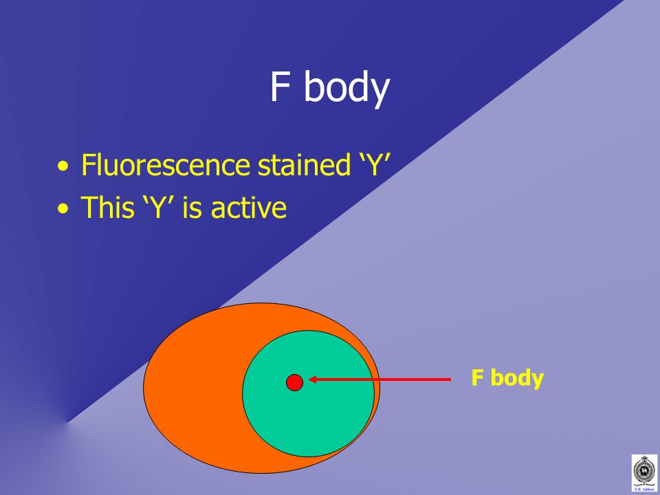 F body Fluorescence stained 'Y' This 'Y' is active F body