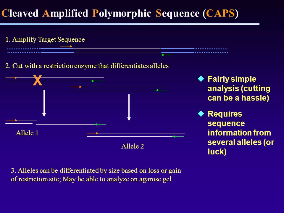 Cleaved Amplified Polymorphic Sequence (CAPS)  Fairly simple analysis (cutting can be a hassle)  Requires sequence information from several alleles (or luck) 1.