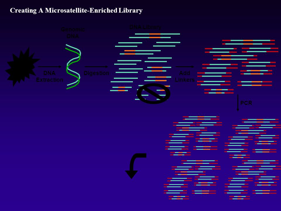 Creating A Microsatellite-Enriched Library DNA Extraction DNA Library Genomic DNA PCR Add Linkers Digestion