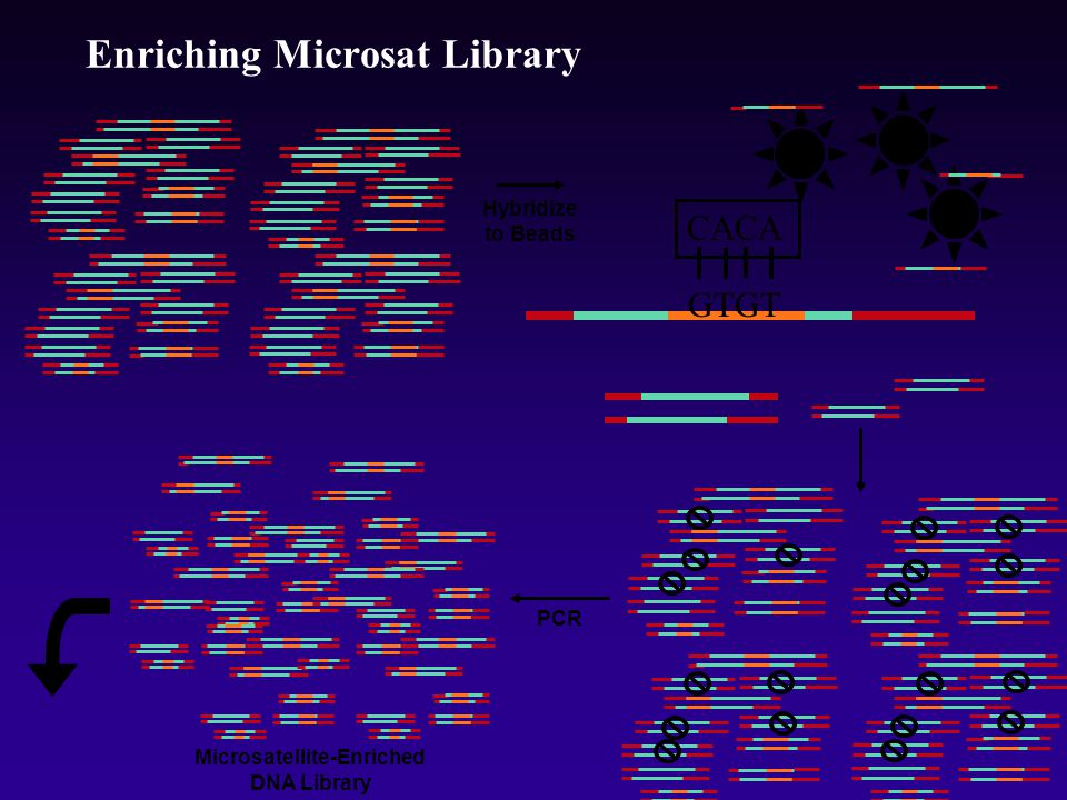 CACA Enriching Microsat Library Hybridize to Beads GTGT Microsatellite-Enriched DNA Library PCR