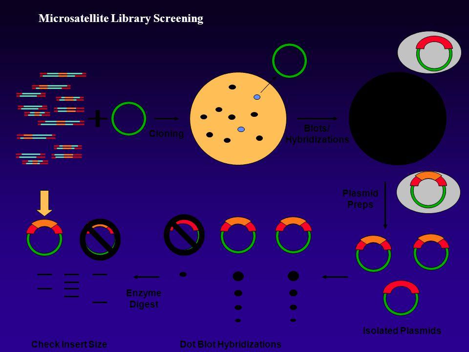 Microsatellite Library Screening Cloning Dot Blot Hybridizations Blots/ Hybridizations Enzyme Digest Plasmid Preps Check Insert Size Isolated Plasmids