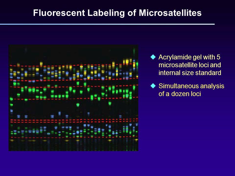 uAcrylamide gel with 5 microsatellite loci and internal size standard  Simultaneous analysis of a dozen loci Fluorescent Labeling of Microsatellites