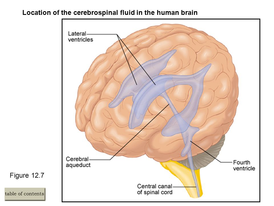 Figure 12.7 Location of the cerebrospinal fluid in the human brain