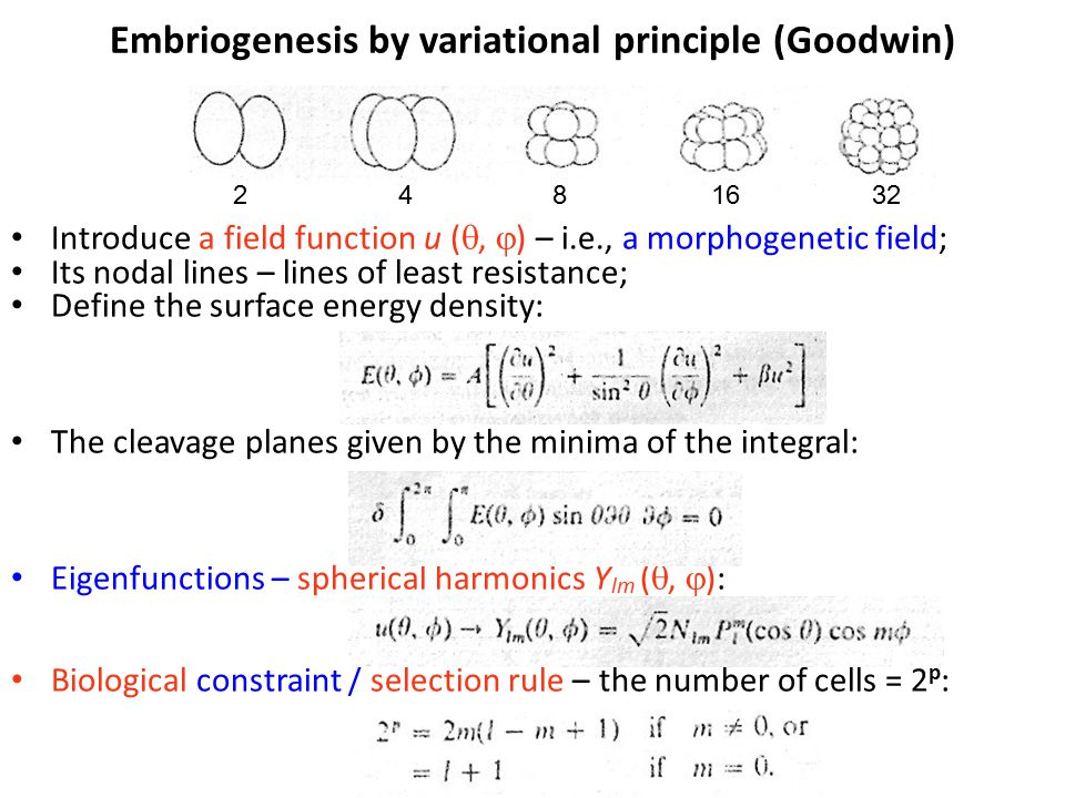 Embriogenesis by variational principle (Goodwin) Introduce a field function u ( ,  ) – i.e., a morphogenetic field; Its nodal lines – lines of least resistance; Define the surface energy density: The cleavage planes given by the minima of the integral: Eigenfunctions – spherical harmonics Y lm ( ,  ): Biological constraint / selection rule – the number of cells = 2 p : 2 48 1632
