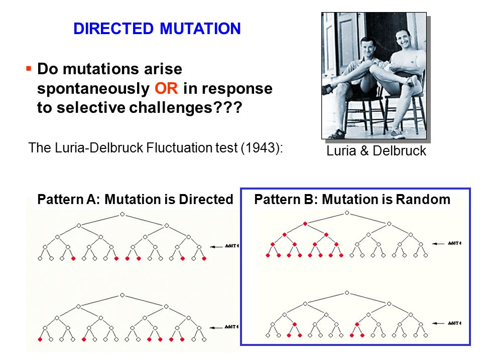  Do mutations arise spontaneously OR in response to selective challenges??? Luria & Delbruck The Luria-Delbruck Fluctuation test (1943): Pattern A: M