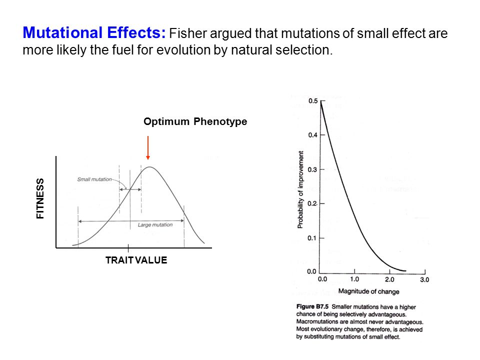 Mutational Effects: Fisher argued that mutations of small effect are more likely the fuel for evolution by natural selection. FITNESS TRAIT VALUE Opti