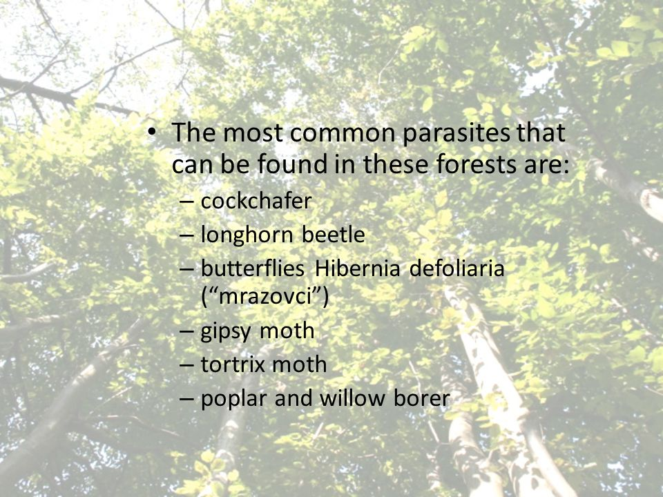 The most common parasites that can be found in these forests are: – cockchafer – longhorn beetle – butterflies Hibernia defoliaria ( mrazovci ) – gipsy moth – tortrix moth – poplar and willow borer